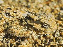 A Camouflaged  Southern Desert Horned Lizard Royalty Free Stock Images
