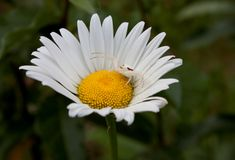 Camouflaged spider on daisy. Macro view of camouflaged white goldenrod spider on daisy flower Royalty Free Stock Photo