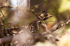 Camouflaged spruce grouse hiding in tree Stock Photos
