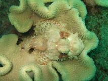 Camouflaged stonefish Royalty Free Stock Photos