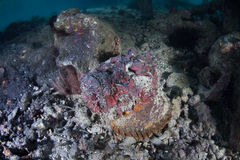 Camouflaged Stonefish Stock Photography