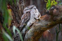 Tawny Frogmouth owl camouflaged Stock Photo