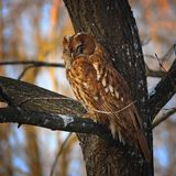 Camouflaged tawny owl. Perched near tree trunk  Strix aluco Stock Photo