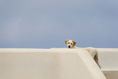 Camouflaged white dog Stock Images
