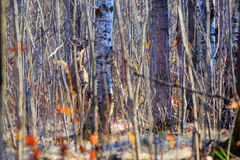 Camouflageherten Stock Fotografie