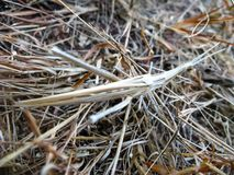Camouflaging slant faced grasshopper in macro. Small camouflaging slant faced grasshopper on straw stack shot in close up stock photo
