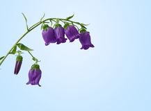 Campánula, primer de la flor del bellflower foto de archivo