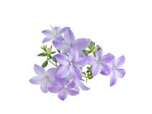 A campânula azul bonita é isolada no fundo branco Fotos de Stock
