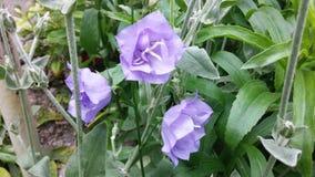 Campânula - flores do jardim do verão Imagem de Stock