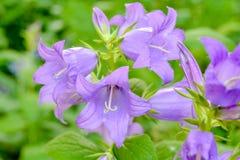 Campânula leitosa de florescência Lactiflora do bellflower aka no jardim do verão fotos de stock royalty free