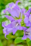 Campânula leitosa de florescência Lactiflora do bellflower aka no jardim do verão fotografia de stock royalty free