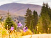 Campânulas da montanha que florescem ao longo da fuga da passagem do Hoosier foto de stock