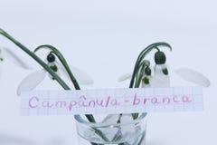 Campânula-branca,在白色笔记的葡萄牙词英语的Snowdrop 库存图片