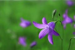 Campаnula pаtula. Flowers Campаnula pаtula macro stock photos