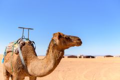 Camel in the desert of Sahara in Morocco. royalty free stock images