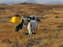 Camp and cows Royalty Free Stock Images