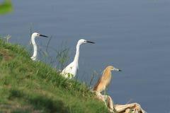 Camp de concentration des oiseaux à une baie photographie stock