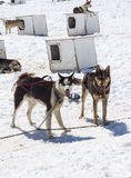 Camp de Musher - Husky Dogs Photographie stock libre de droits