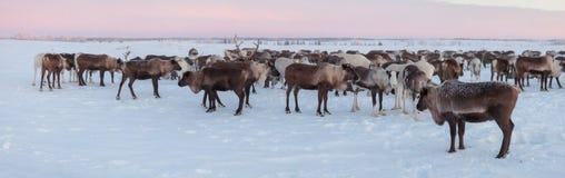 Camp of reindeers. Reindeers in the camp of Nenets reindeer herder royalty free stock images
