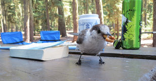 Camp Robber - Caught in the Act. A camp robber (Gray Jay) is caught in the act of pilfering some snacks from the picnic table Royalty Free Stock Photos