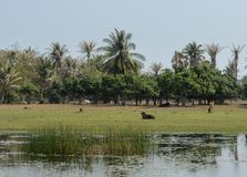 Campagna asiatica della piantagione degli alberi del cocco Immagine Stock Libera da Diritti