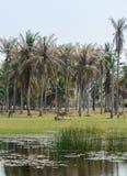 Campagna asiatica della piantagione degli alberi del cocco Fotografia Stock Libera da Diritti