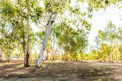 Campagna australiana con gli alberi di eucalyptus fotografia stock