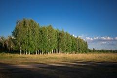 Campagna con un boschetto della betulla Fotografia Stock