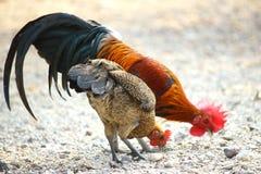 Campagna del gallo del gallo di combattimento del pollo della famiglia Fotografia Stock Libera da Diritti