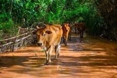 Campagna dell'azienda agricola della mucca Immagini Stock