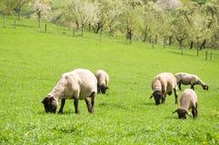 Campagna dell'azienda agricola delle pecore fotografia stock libera da diritti