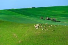 Campagna delle pecore Fotografie Stock Libere da Diritti