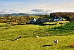 Campagna inglese con il pascolo delle pecore Immagine Stock Libera da Diritti