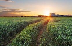 Campagna rurale con il giacimento ed il sole di grano Immagine Stock Libera da Diritti