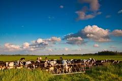 Campagne avec le pré et les vaches Photographie stock