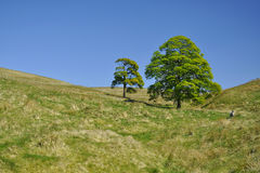 Campagne : deux arbres et moutons entre les côtes Photographie stock