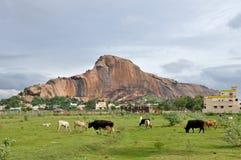 Campagne indienne avec des vaches Image stock