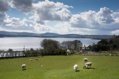 Campagne irlandaise avec des moutons et terres cultivables à côté de lac Image stock