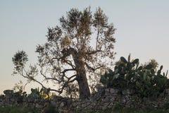 Campagne met een olijfboom een stekelige peer Royalty-vrije Stock Foto's