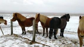 Campagne neigeuse de chevaux islandais près de Reykjavik Islande banque de vidéos