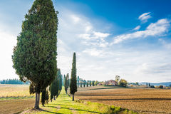 The campaign of Lucignano. The plant and the vineyard in the beautiful countryside of Lucignano in Tuscany Royalty Free Stock Photo