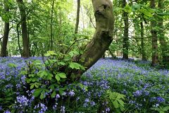 Campainhas/madeiras Nunburnholme Yorkshire do leste Inglaterra Bratt do hyacinthoides Imagem de Stock