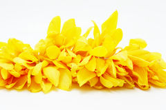 Campaka ylang ylang Royalty Free Stock Images