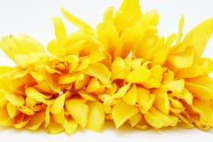 Campaka ylang ylang Stock Image