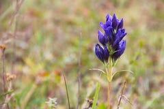 Campana azul de la flor salvaje del bosque en fondo verde borroso Foto de archivo