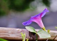 Campana de la correhuela en una cerca de madera fotografía de archivo