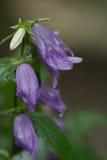 Campana-fiore (campanula) Fotografie Stock Libere da Diritti
