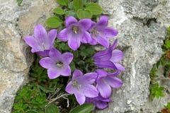 Campana-flor; morettiana de la campánula Imagen de archivo libre de regalías
