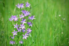 Campana-flor violeta en prado verde Fotografía de archivo libre de regalías