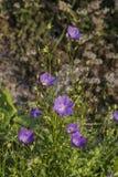 Campana perenne herbácea Imagenes de archivo